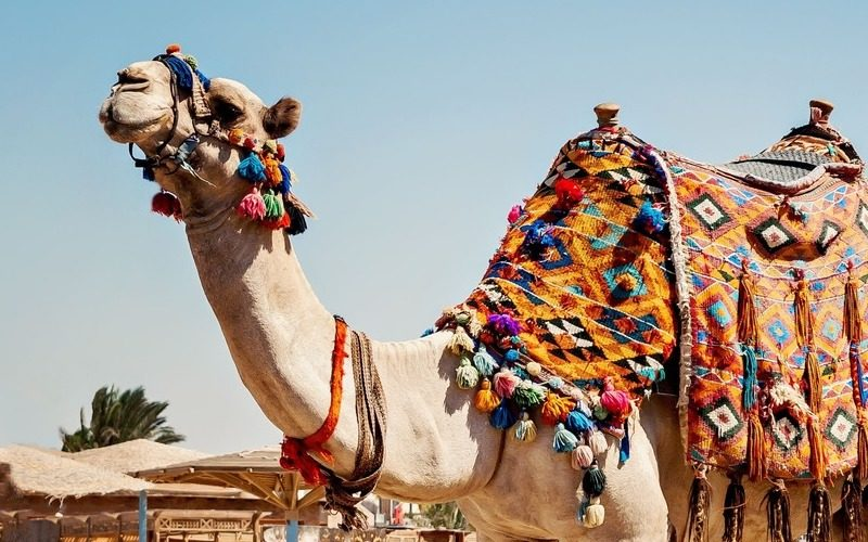 Activité evjf à Marrakech - Balade en dromadaire
